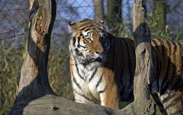 Фото обои кошка, тигр, коряга, амурский