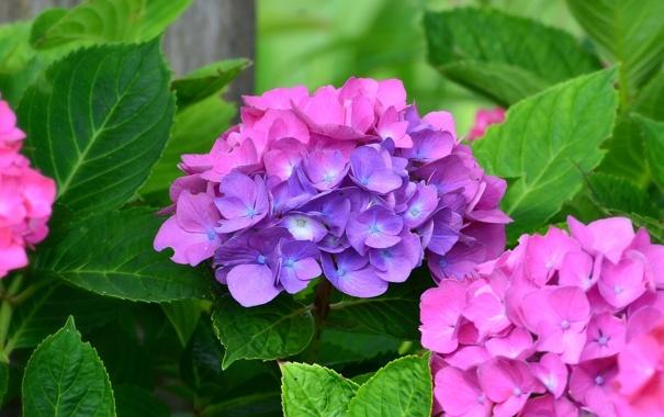 Фото обои цветы, листва, цветение, гортензия