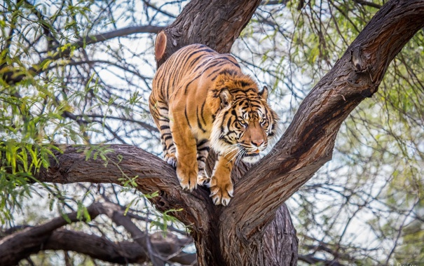 Фото обои тигр, дерево, хищник