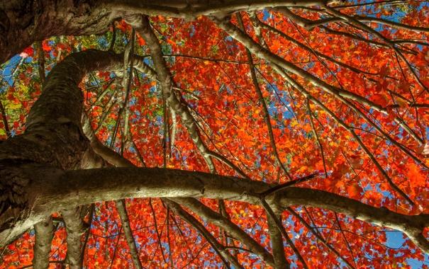 Фото обои осень, небо, листья, дерево, багрянец