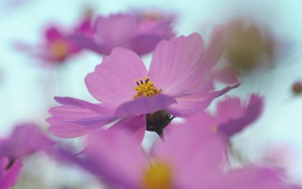 Фото обои цветок, небо, макро, розовый, весна, лепестки, размытость