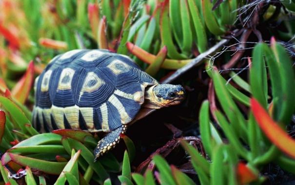 Фото обои трава, черепаха, рептилия