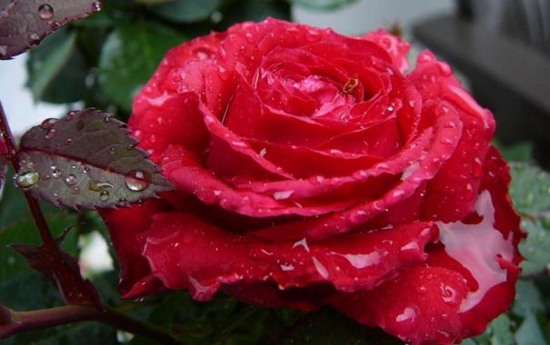 Фото обои Роза, слезы, шипы