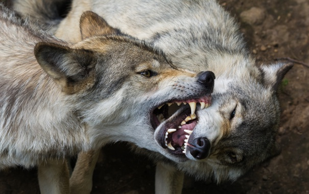 Фото обои хищники, пасть, клыки, волки
