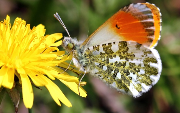 Фото обои бабочка, Зорька сердечниковая, одуванчик, макро, цветок