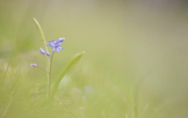 Фото обои цветок, фон, голубой, размытость, весенний