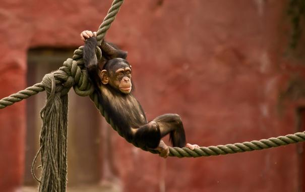 Фото обои обезьяна, зоопарк, канаты