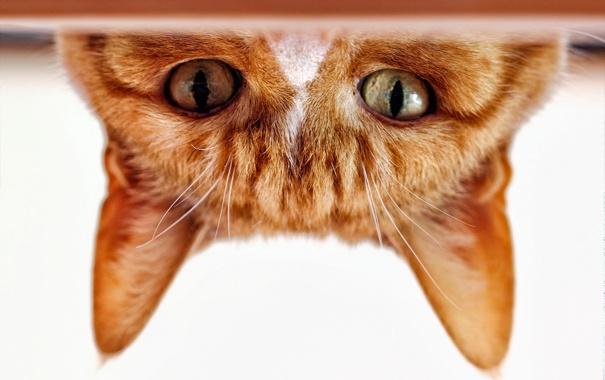Фото обои кошка, глаза, кот, взгляд, мордочка, уши, рыжий кот