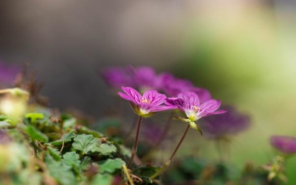 Фото обои цветы, листики, Dicentra