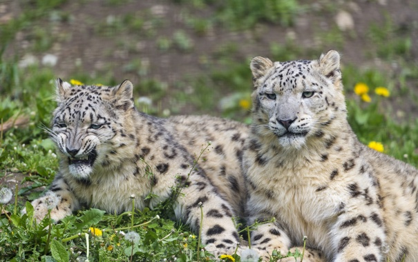 Фото обои трава, кошки, пара, ирбис, снежный барс, одуванчики, ©Tambako The Jaguar
