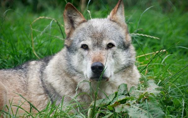 Фото обои трава, отдых, волк, лежа