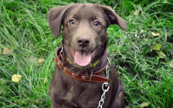 Фото обои трава, радость, Собака, прогулка