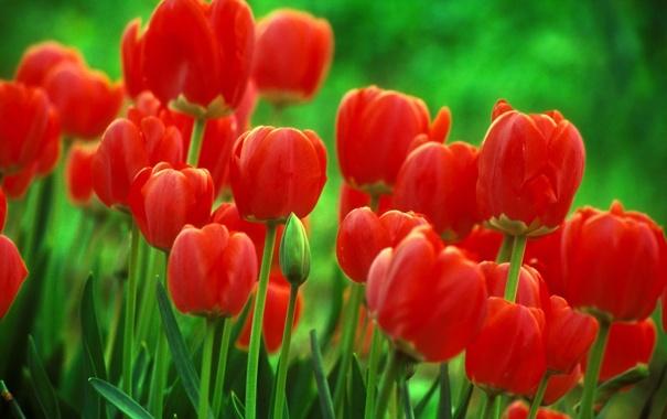Фото обои макро, цветы, фон, тюльпаны
