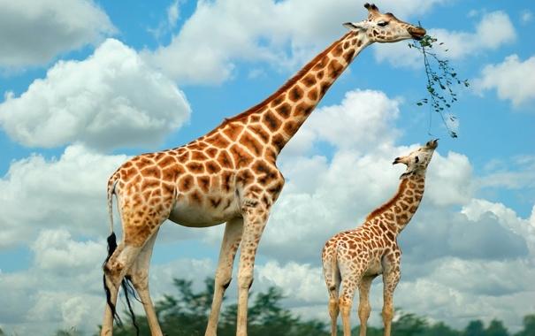 Фото обои жирафы, Семья, питаются