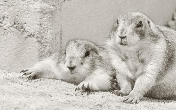 Фото обои чёрно-белая, парочка, грызуны, луговые собачки