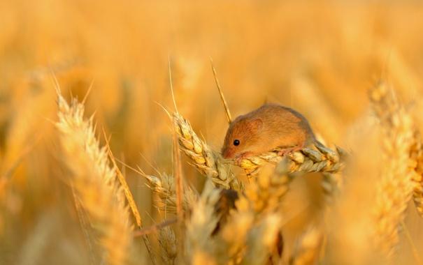 Фото обои пшеница, поле, зерно, мышь, колосья, маленькая, колосок