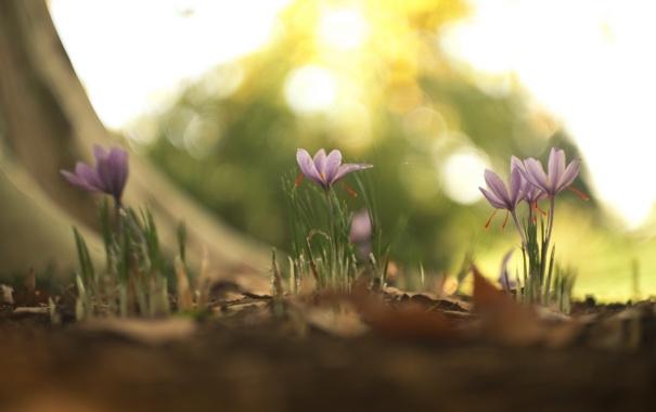 Фото обои flowers, autumn, fall, phoenix rising, fallcrocuses