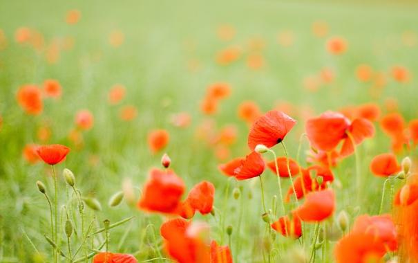 Фото обои поле, цветы, мак