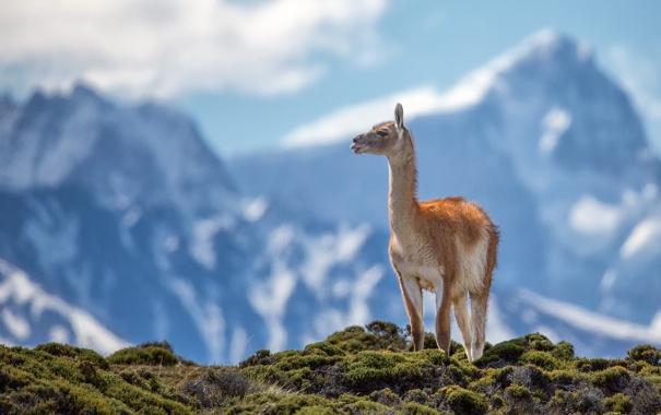 Фото обои горы, животное, Анды, гуанако
