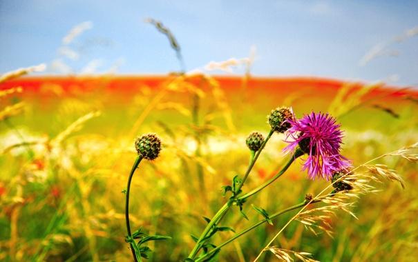 Фото обои поле, цветок, небо, луг, сорняк