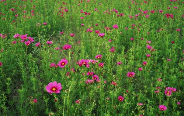 Фото обои поле, трава, цветы, лепестки, луг
