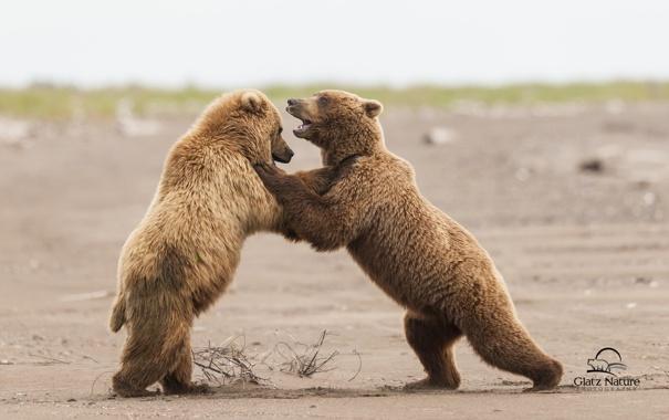 Фото обои медведи, Аляска, Alaska, Lake Clark National Park, спарринг