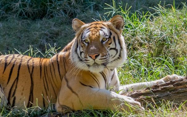 Фото обои кошка, трава, взгляд, солнце, тигр, бревно, амурский