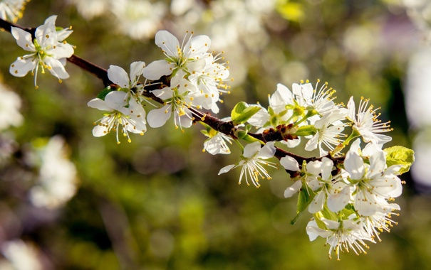 Фото обои макро, свет, цветы, природа, дерево, ветка, весна