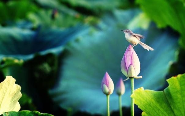 Фото обои цветы, птичка, лотосы