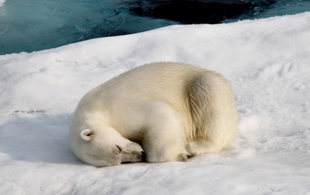 Фото обои снег, природа, медведь