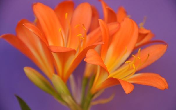 Фото обои макро, природа, лилия, лепестки