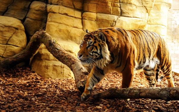 Фото обои взгляд, тигр, хищник, пещера