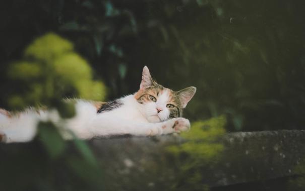 Фото обои кошка, кот, усы, шерсть, лежит, смотрит