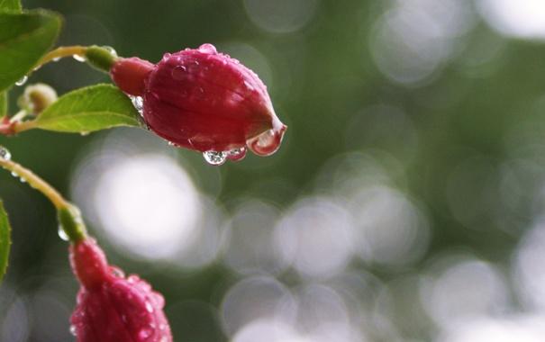 Фото обои вода, капли, макро, цветы, бутоны, фуксия