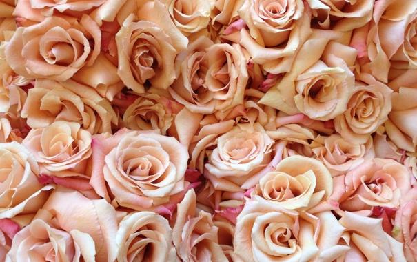 Фото обои цветы, розы, лепестки, бутоны, много, кремовые