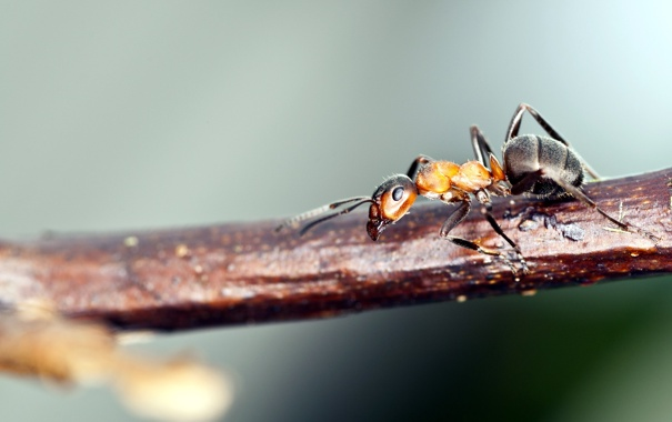 Фото обои макро, природа, муравей