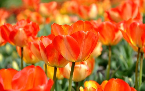 Фото обои цветы, весна, тюльпаны, оранжевые, много, якрие