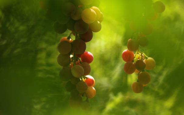 Фото обои фон, виноград, макро