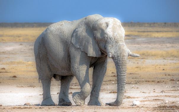 Фото обои природа, слон, Африка