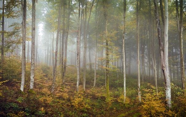 Фото обои осень, лес, природа, берёзы