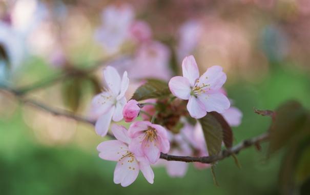 Фото обои зелень, листья, ветка, весна, яблоня, цветение