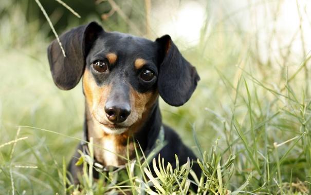 Фото обои зелень, собаки, трава, взгляд, морда, собака, щенок