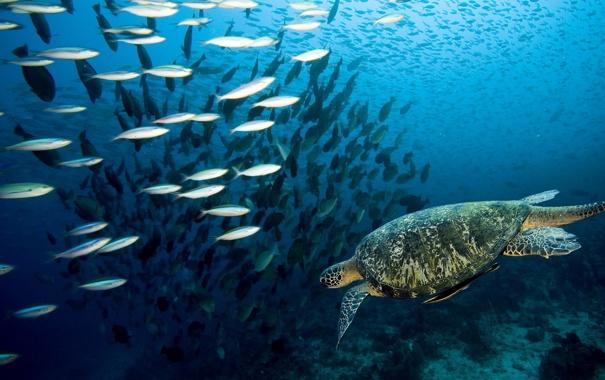 Фото обои мир, черепаха, стая, подводный, рыб