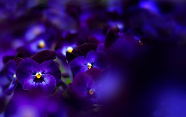 Фото обои макро, цветы, pansies