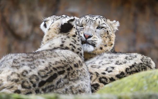 Фото обои кошки, пара, ирбис, снежный барс, ©Tambako The Jaguar