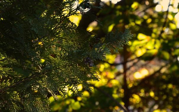 Фото обои зелень, листья, солнце, макро, деревья, закат, природа