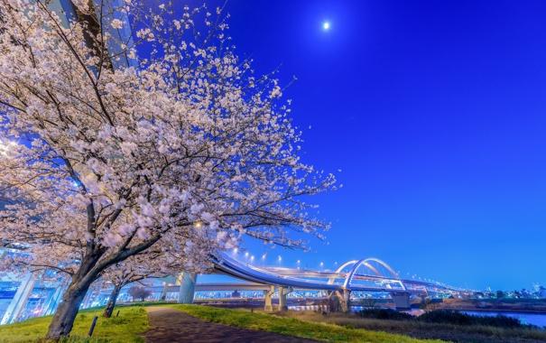 Фото обои ночь, мост, огни, Япония, сакура