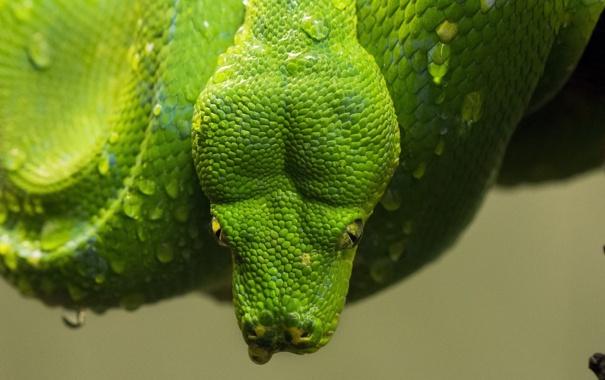 Фото обои капли, зеленый, змея, голова, чешуя, питон