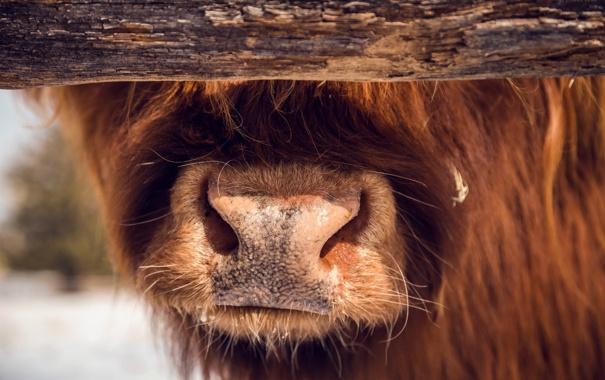 Фото обои морда, макро, корова