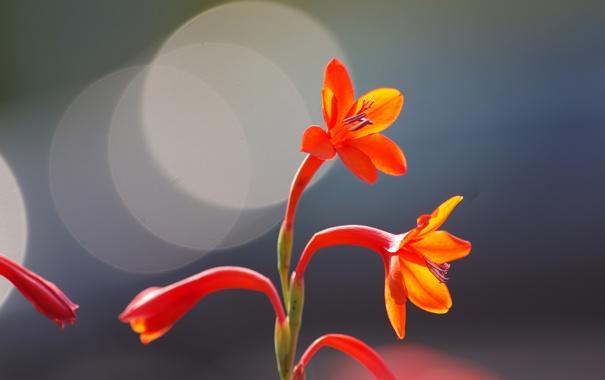 Фото обои цветок, природа, лепестки, блик
